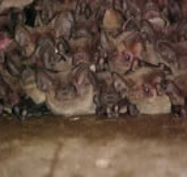 Bat Identification