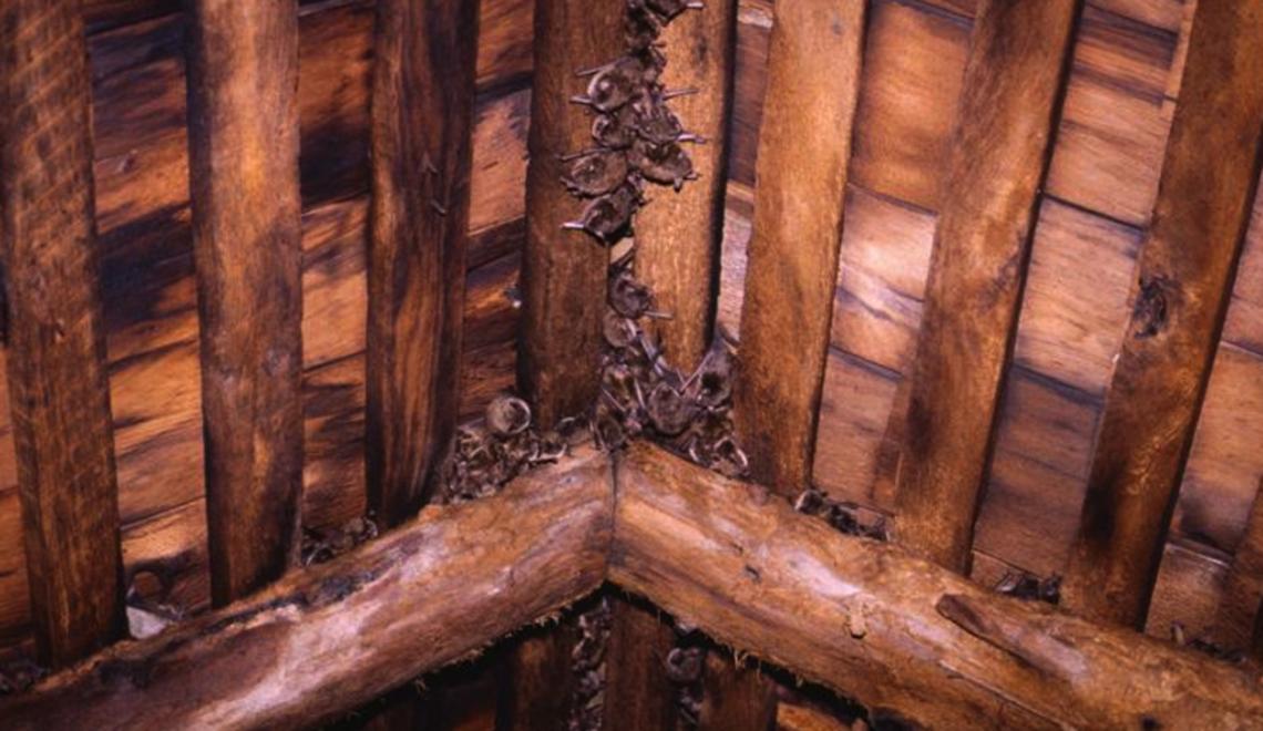 bats-in-attic.png